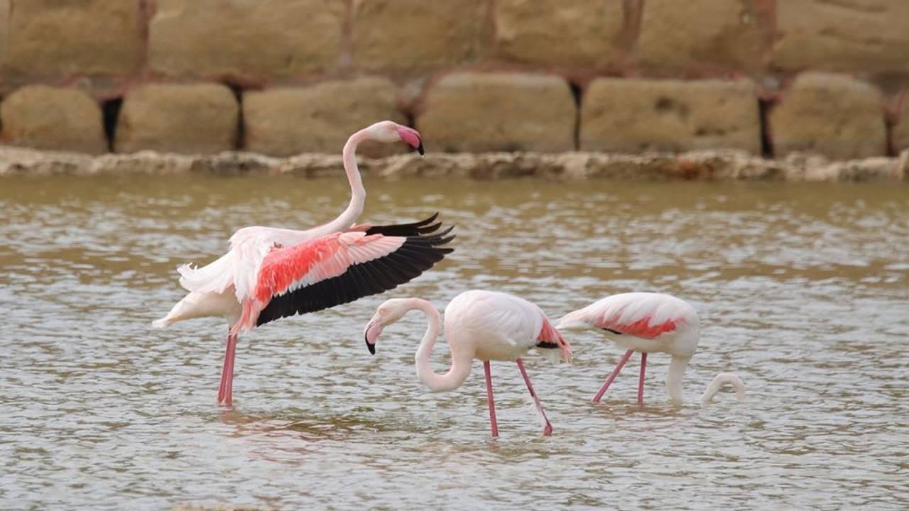 So beautiful! Three Greater Flamingos stop over in Malta