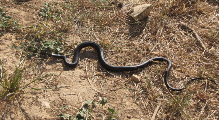 Ooh er! Look out for these Maltese ssssssnakes